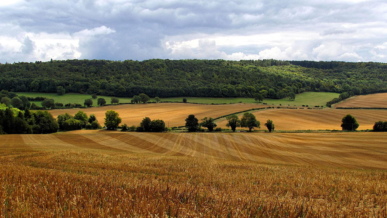Fields of golden crops sit in front of a dark green woodland, below a cloudy sky