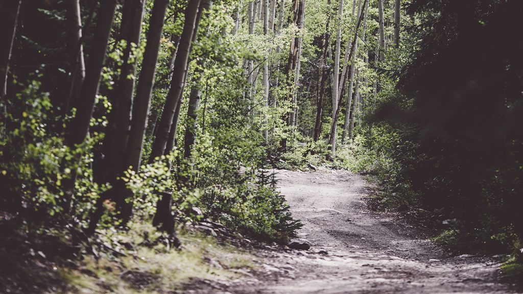 A dirt path goes into a woodland with tall thin trees